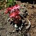 Zweiter Besteigungsversuch 17.-19.8.2012:<br /><br />Spinnweb-Hauswurz (Sempervivum arachnoideum).
