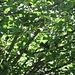 Fra le foglie la sagoma scura di uno scoiattolo.