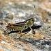 Zweiter Besteigungsversuch 17.-19.8.2012:<br /><br />Sibirische Keulenschrecke (Gomphocerus sibiricus) bei der Kinhütte (2584m).