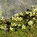 Gipfelschmuck: Moos-Steinbrech (Saxifraga bryoides)