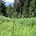 Cardus acanthoides, Asteraceae.