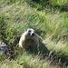 Gestatten, Marmota marmota