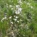 Eriophorum angustifolium, Cyperaceae