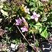 Gentianella campestris, Gentianaceae.