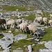 Das sind Hippie-Schafe: sehr seltsam, deutlich zu erkennen an die viele Farben