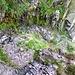 Durch die Felsstufe oberhalb der Alp Pertüs - Sicherungen sind angenehm