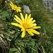 Gewöhnliches Ochsenauge (Buphthalmum salicifolium)
