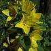 Der Punktierte Gilbweiderich (Lysimachia punctata), auch Goldfelberich oder Drüsiger Gilbweiderich genannt.