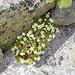 Viele Hornkrautpolster schmücken die Felsen