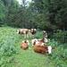Kühe belagern den Weg