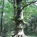 die alten Bäume ragen hoch hinaus