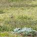 Unterwegs hören wir immer wieder den melancholischen Ruf des Goldregenpeifere (Pluvialis apricaria)