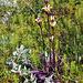 Unterwegs finden wir das Karlszepter, ein Läusekraut (Pedicularis sceptrum-carolinum)