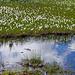 ....von Schmalblättrigem Wollgras (Eriophorum angustifolium)