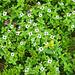 Wegen dem nassen und kalten Sommer blühen noch erstaunlich viele Blumen, hier der Schwedische Hartriegel (Cornus suecica)