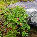 Die Moltebeeren (Rubus chamaemorus) sind noch nicht reif.
