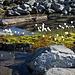 Unterwegs wiederum Wollgräser (Eriophorum scheuchzeri)
