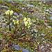 Am Wegrand wiederum eine typische Lapplandblume: das Lappland Läusekraut (Pedicularis lapponica)