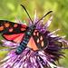 Sechsfleck Widderchen auf einer Flockenblume