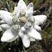 schönes Edelweiss