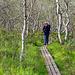 Durch Birkenwald geht es am nächsten Tag weiter Richtung Abisko. Man beachte: die Birken haben keine Blätter. Die Raupe des Birkenspanners hat die Bäume kahl gefressen.