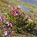 Am Wegrand blüht die Bergheide (Phyllodoce caerulea)