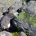 In den Steinblöcken zeigt sich das erste Moorschneehuhn (Lagupus lagopus)....