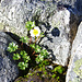 In der Nähe blüht der Gletscher Hahnenfuss (Ranunculus glacialis)