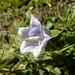 Bärtige Glockenblume
