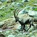 Capra ibex (Alpensteinbock), was für ein Tier!