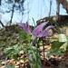 Dent de chien, le symbole du Vuache. Cette fleur méditerranéene ne se trouve qu'au Vuache et dans le Genevois
