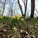 Ambiance typique du printemps au Vuache: Jonquilles et Dent de Chien