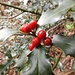 Fruits du houx de l'hiver passé