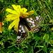 Veilchen-Scheckenfalter (m.) , Euphydryas cynthia