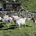 herzige Ziegen vor dem Bristenhüttli