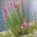 Epilobium angustifolium, Onagraceae.