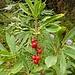 Seidelbast -  der Fruchtstand