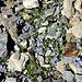 ein Teppich von Mont-Cenis-Glockenblümchen