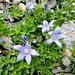 lieblich, die Mont-Cenis-Glockenblumen