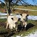 Neugierige Rinder auf einer Weide am Bodanrück<br />