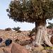 alter Nadelbaum im Bereich des 2500 m hohen Pass Tizi'n Iferd