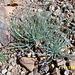 Rosette der Wüstenpflanze Affodil