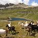 l'improvvisato pastore con le caprette che fanno.....ciao!