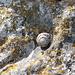 Schneck auf Fels mit Flechte