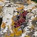 Sukkulent auf Fels mit Flechte