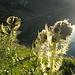 Cardo spinosissimo (Cirsium spinosissimum) in controluce