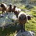 Äußerst liebe und nette Schafe, sehr zutraulich, erst kam Mama-Schaf, schupperte etwas, dann kamen die Jungen.<br />Sie ließen sich sogar am Kopf kraulen. Normalerweise hauen die meisten Schafe schnell ab, kommt man Ihnen zu nahe.