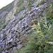 Gefrorener Tau an den Blättern beim grossen Geröllband kündet das nahe Sommerende an.