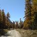 ... mal durch herrlichen Lärchenwald ...