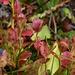 Le piante di mirtillo cominciano a cambiare colore